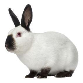 coelho himalaio