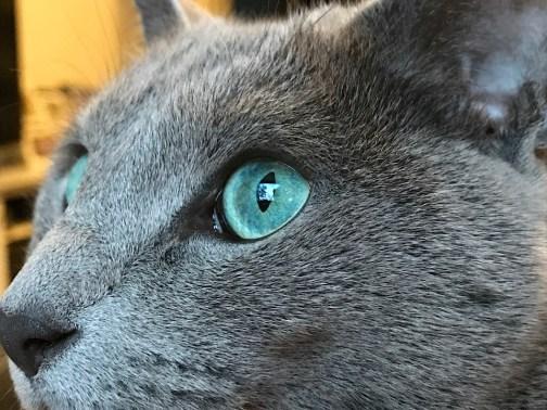 Gato Azul Russo close