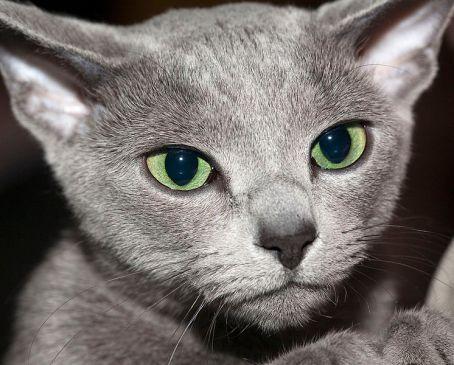 Gato Azul Russo olhar