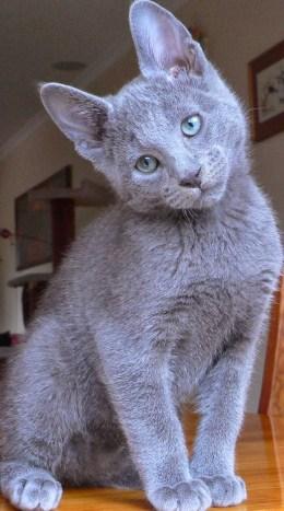 Gato Azul Russo olhando