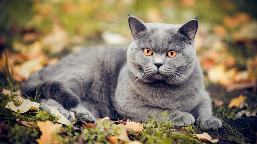 gato de pelo curto cinza
