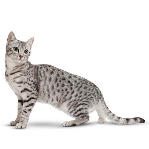 gato mau egípcio