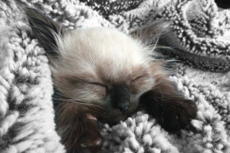 Gato Ragdoll Dormindo