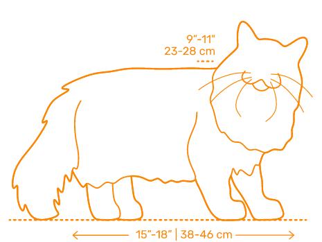 Gato siberiano medidas