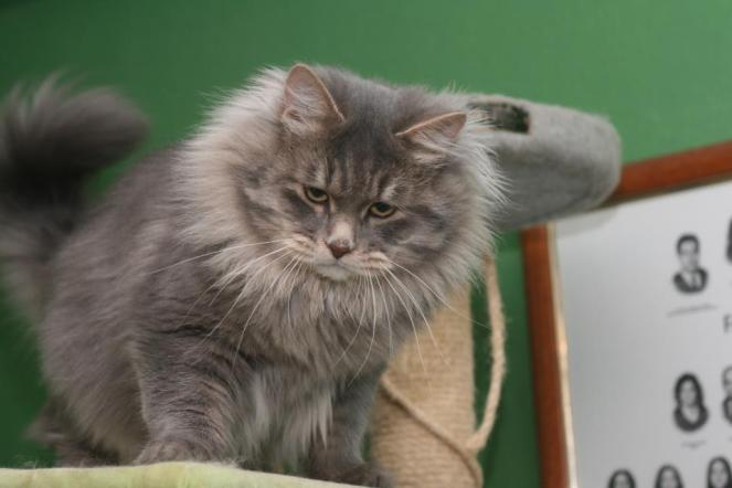 Gato siberiano cinza escuro