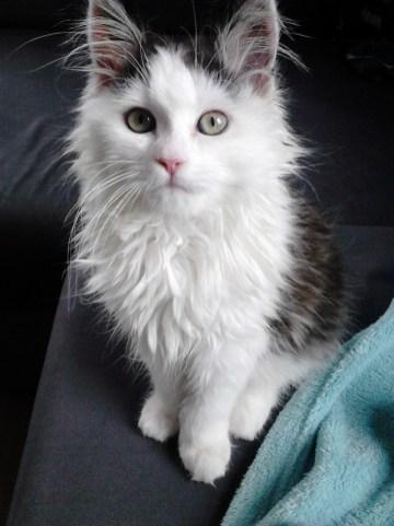 Gato siberiano branco e preto