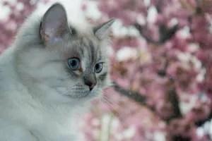 Gato siberiano olhar