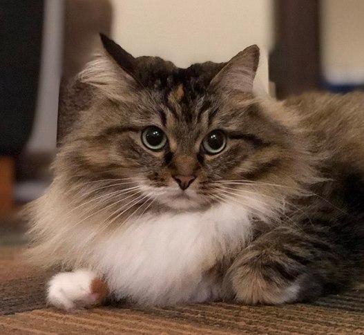 Gato siberiano cinza