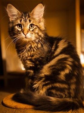 Gato siberiano malhado