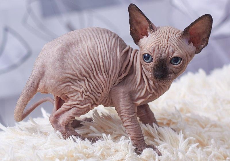 Gato Sphynx filhote