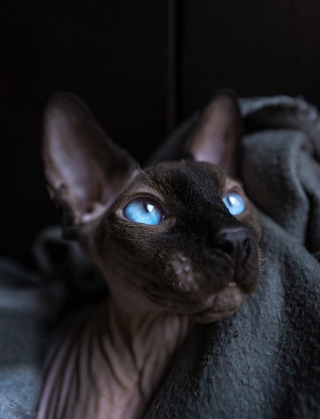 Gato Sphynx olhos azuis