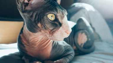 Gato Sphynx bicolor