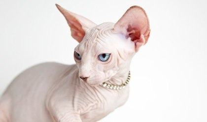Gato Sphynx branco