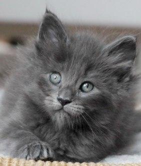 Gato Angorá Cinza