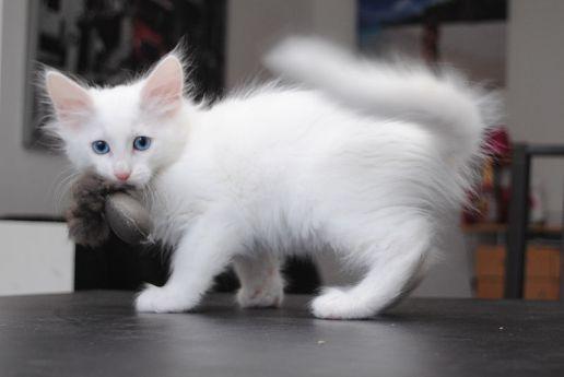 Gato Angorá brincando