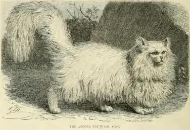 Gato Angorá história