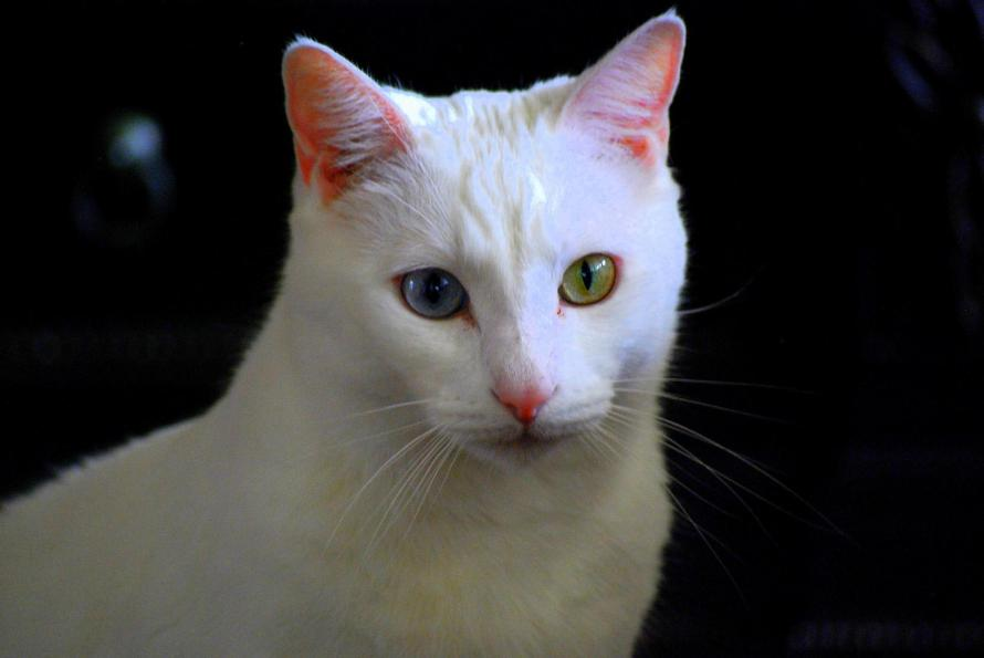 gato angora branco