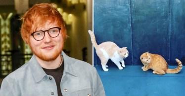 Gato Scottish Fold Ed Sheeran