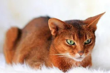 Gato Abissínio sorrel
