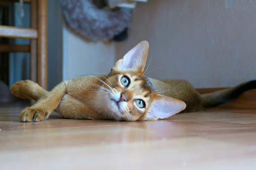 Gato Abissínio olhos