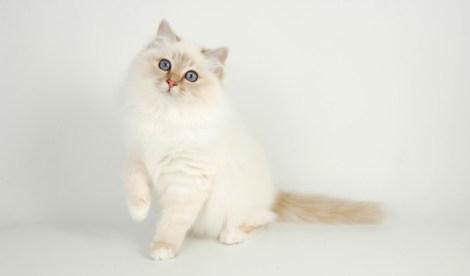 Gato Birmanês pose