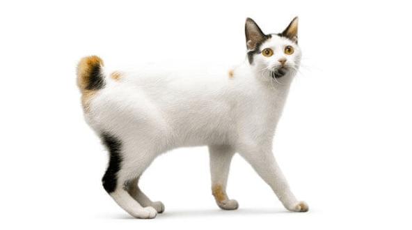 Gato Bobtail Japonês olhar