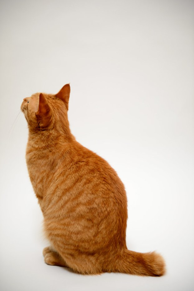 Gato Bobtail Japonês tabby