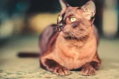 Gato Burmes atento