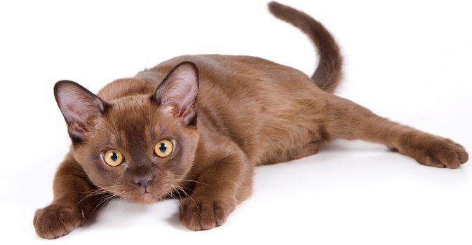 Gato Burmes pose