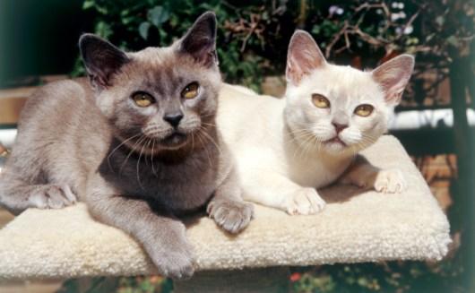 Gato Burmes dupla
