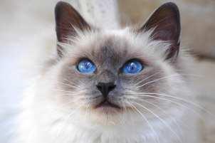 Gato Burmes olhos azuis