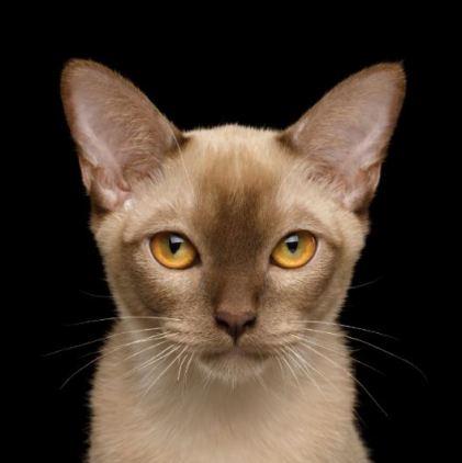 Gato Burmes olhos dourados
