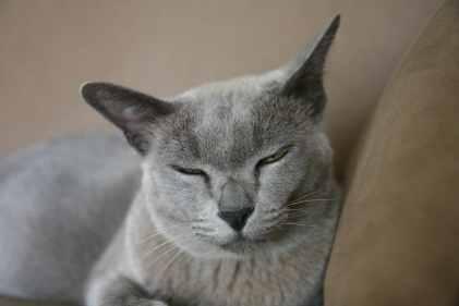 Gato Burmes olhos verdes