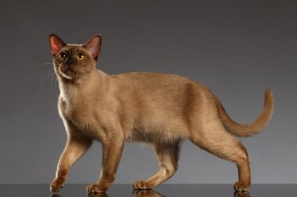 Gato Burmês pose