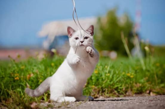 Gato Munchkin brincando