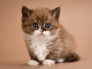 Gato Munchkin filhote