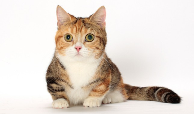 Gato Munchkin sentado