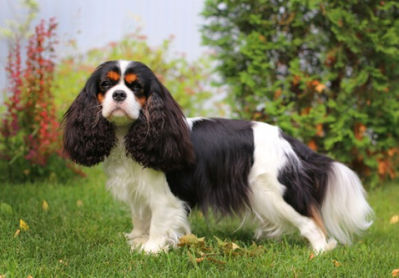 cachorro Cavalier King Charles Spaniel preto e branco