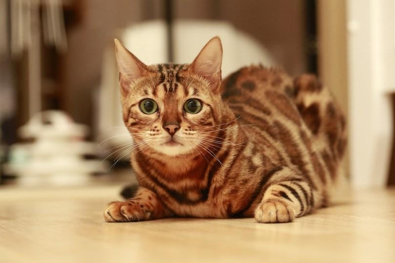 Gato Bengal close