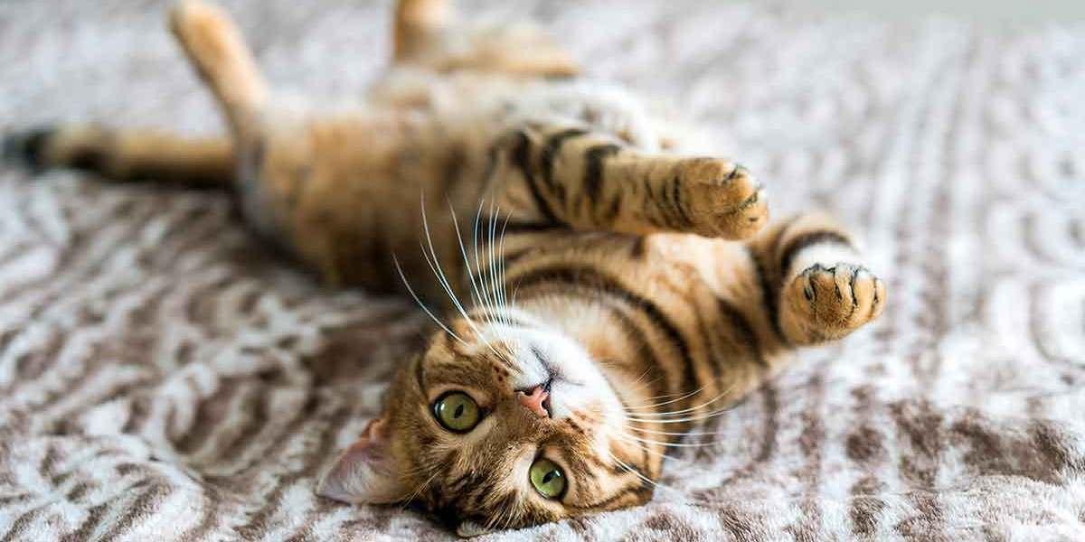 Gato Bengal fofo