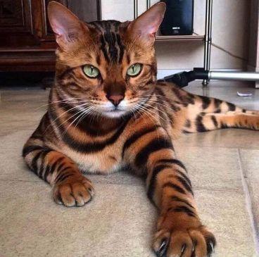 Gato Bengal pose deitado