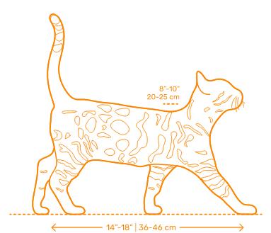 Gato Bengal medidas