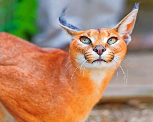 Gato Caracal vermelho
