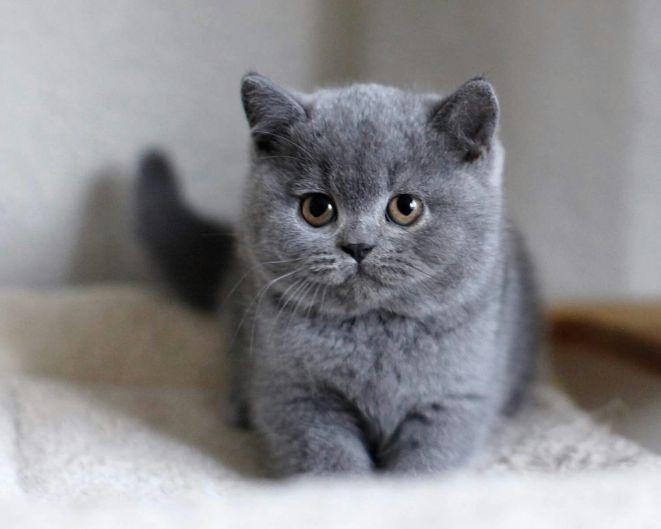 Gato Chartreux filhote