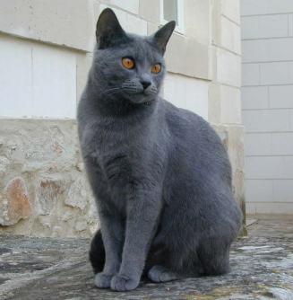Gato Chartreux sentado