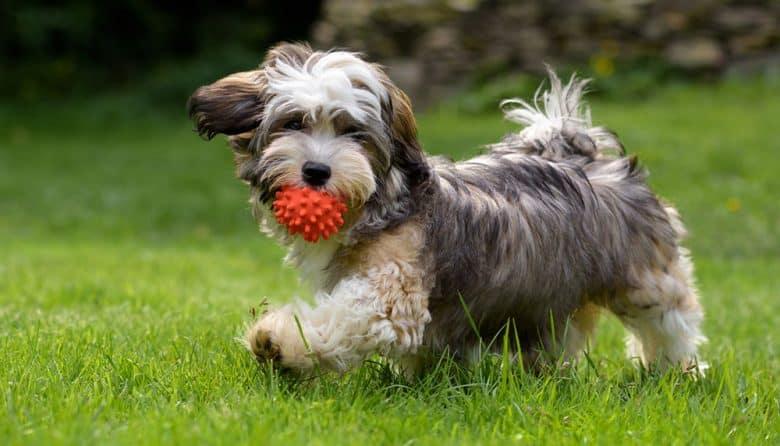 Bichon Havanes brincando com bola