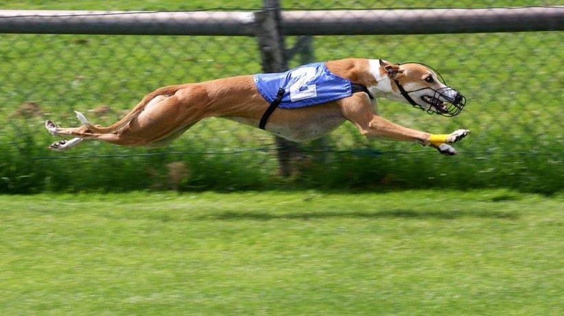 cachorro de corrida