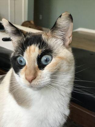 gato bengal misturado