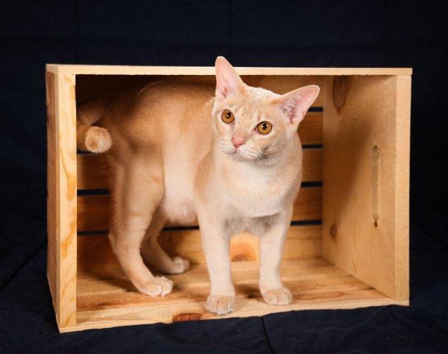 Gato Burmes laranja