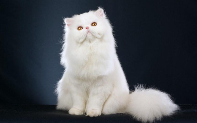 gato himalaio branco